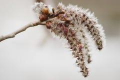 Семена Aspen Стоковые Фотографии RF