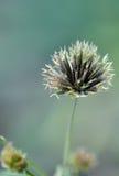 Семена Bidens Стоковое Фото