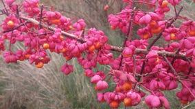 Семена Euonymous Elatus Стоковые Фотографии RF