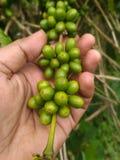 Семена Robusta кофе на ветви Стоковые Фотографии RF