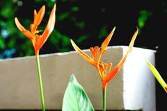 Семена ` s райской птицы Стоковая Фотография