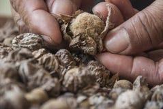 Семена Teak и крупный план руки Стоковые Фотографии RF