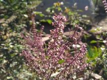 Семена Tulsi Стоковое Изображение