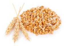 Семенозачаток пшеницы с ушами Стоковая Фотография RF