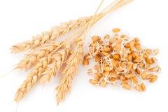 Семенозачаток пшеницы с ушами Стоковые Фото