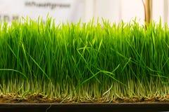 Семенозачаток пшеницы Стоковые Изображения RF
