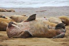 семьи перетаскивания walrus вне Стоковое Фото