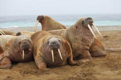 семьи перетаскивания walrus вне Стоковая Фотография RF
