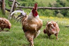 Семьи фермы: петух и его курицы, свободные цыплята ряда в загородном доме стоковые фото