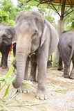 Семья азиатских слонов Стоковое Фото