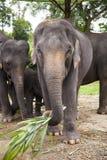 Семья азиатских слонов Стоковая Фотография RF