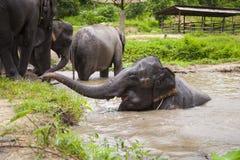 Семья азиатских слонов Стоковая Фотография