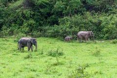 Семья азиатского слона идя и смотря траву для еды в национальном парке Kui Buri леса Таиланд Стоковое Фото