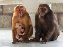Семья азиатской обезьяны Стоковая Фотография RF