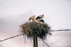 Семья аиста в гнезде Стоковое Изображение RF