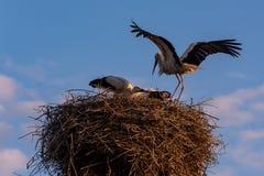 Семья аиста в их гнезде на предпосылке голубого неба Стоковые Изображения RF