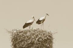 Семья аиста на гнезде Стоковое Изображение RF