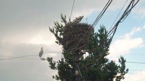 Семья аистов в своем гнезде на штендере после дождя на предпосылке неба видеоматериал