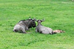 Семья антилопы гну стоковое фото rf