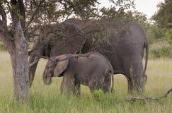 Семья африканского слона в Южно-Африканская РеспублЍ Стоковые Изображения RF