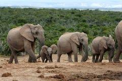 семья африканского слона Стоковая Фотография