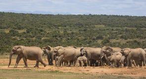 Семья африканского слона на waterhole стоковое изображение