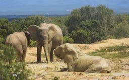 Семья африканского слона на waterhole стоковое фото rf