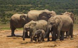 Семья африканского слона на waterhole стоковое фото