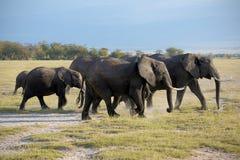 Семья африканского слона Стоковые Изображения RF
