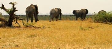 семья африканского слона Стоковое Изображение