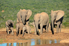 семья африканского слона Стоковые Фотографии RF