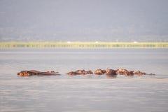 Семья бегемота отдыхая в национальный парк озере, Найроби, Ke Стоковое фото RF