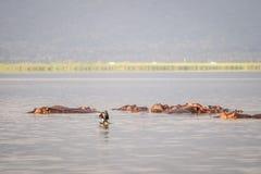 Семья бегемота отдыхая в национальный парк озере, Найроби, Ke Стоковая Фотография RF