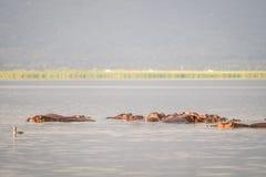 Семья бегемота отдыхая в национальный парк озере, Найроби, Ke Стоковое Изображение RF