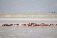Семья бегемота отдыхая в национальный парк озере, Найроби, Ke Стоковое Фото