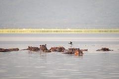 Семья бегемота отдыхая в национальный парк озере, Найроби, Ke Стоковые Фотографии RF