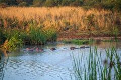 Семья бегемота отдыхая в озере, Кении, Восточной Африке Стоковые Изображения RF