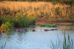 Семья бегемота отдыхая в озере, Кении, Восточной Африке Стоковое Изображение RF
