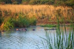 Семья бегемота отдыхая в озере, Кении, Восточной Африке Стоковое Изображение