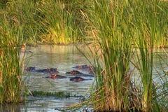 Семья бегемота отдыхая в озере, Кении Стоковая Фотография RF
