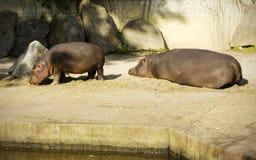 Семья бегемота Стоковая Фотография RF
