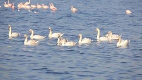 Семья безгласных лебедей плавая видеоматериал