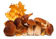 Семья белого porcini Одичалый фуражированный выбор гриба изолированный на предпосылке, с тенью грибы подосиновика edulis Стоковое фото RF