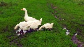 Семья белых гусынь животных идет выпить воду от пруда акции видеоматериалы