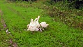 Семья белых гусынь животных идет выпить воду от пруда сток-видео