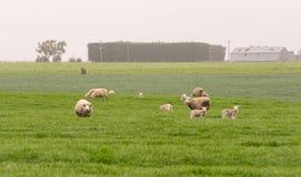Семья белых овец стоит в зеленом ландшафте поля, новом Стоковые Фотографии RF