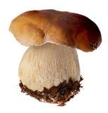 Семья белого porcini Одичалый фуражированный выбор гриба изолированный на предпосылке, с тенью грибы подосиновика edulis Стоковая Фотография RF