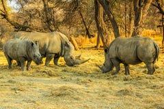 Семья белых носорогов в опасности вымирания! Стоковое Изображение RF