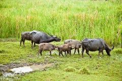 семья буйвола Стоковые Изображения RF