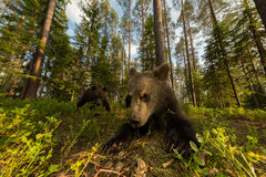 Семья бурого медведя в финском лесе широкоформатном Стоковые Изображения RF